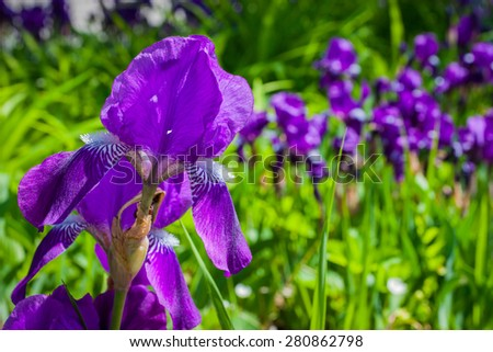 Nature, object colors. Irises purple. Focus on the foreground. Without the use of filters, contrast enhancement.