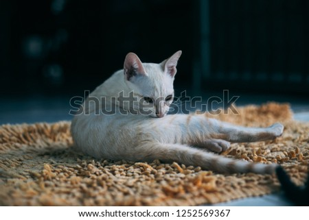 nature one mammal white feline fur portrait beautiful domestic eyes background young kitty kitten pet animal cat cute