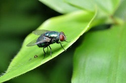Nature Outdoor Green Bottle Fly in Green Leaf
