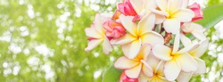 Nature pattern of blossoming color exotic yellow and pink Frangipani flower on soft green color in blur style for cards. Spring landscape of orange Plumeria flower. Bright colorful spring flowers. Lei