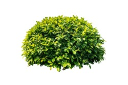 nature plant bush tree isolated include clipping path on white background