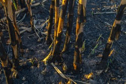 Nature prevails  Sprouts emerge from the ground among burned reeds
