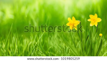 Nature Rustic spring background with Yellow flowers daffodils growing in the garden. Beautiful Wide Screen Wallpaper or Web Banner With Copy Space for design
