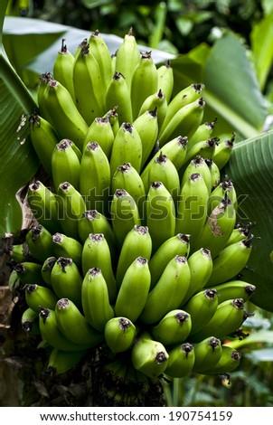 Nature\'s Garden - Bunch Of Green Bananas On A Banana Tree / Nature\'s Garden - Green Bananas