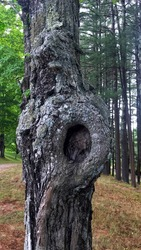 Nature's Natural Nest In A Tree Trunk Knot