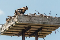 Nature scene featuring wood pallet with Osprey birds
