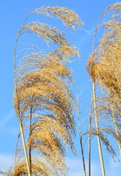 Nature - scenes: reed panicles against the blue sky. Dry yellow-brown panicles in a gentle breeze