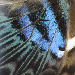 Nature texture, derived from blue butterfly wing background