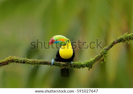 Nature travel in central America. Keel-billed Toucan, Ramphastos sulfuratus, bird with big bill, sitting on the branch in the forest, Boca Tapada, Costa Rica.
