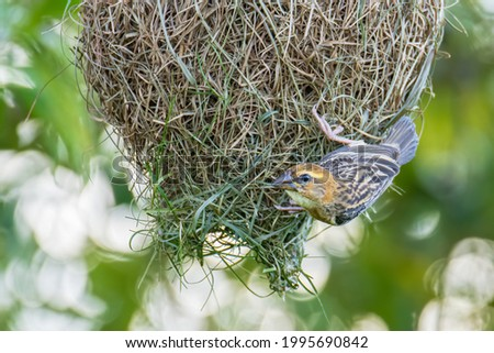 Nature wildlife image of Baya weaver inside bird nest Foto stock ©