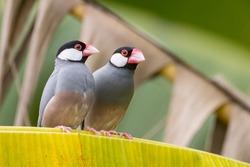 Nature Wildlife image of beautiful pair of bird Java sparrow (Lonchura oryzivora) with green background