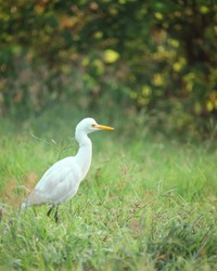 Nature wildlife image of Cattle Egret bird wandering in the green grass of farm land  of India, gujrat.