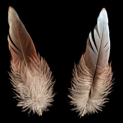 Nature wing fly bird feather quill black isolated