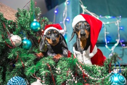 Naughty adult dachshund dog and restless puppy in Santa costumes have filled up artificial Christmas tree decorated with garland and festive balls, they are sitting among its branches at crime scene