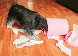 Naughty bad schnauzer puppy dog playing with papers from garbage basket.Dog among the torn paper with head in trash can