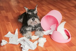 Naughty bad schnauzer puppy dog playing with papers from garbage basket.Dog lies among the torn paper.Mischief dog home.