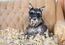 Naughty bad schnauzer puppy dog sitting on a couch that she has just destroyed.