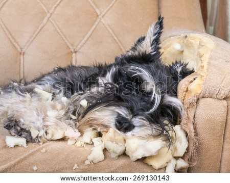 Naughty bad schnauzer puppy dog sleeping on a couch that she has just destroyed.