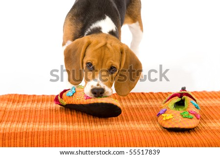 Naughty Beagle puppy chewing slippers on orange carpet on white background
