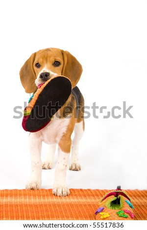 Naughty Beagle puppy with slippers on orange carpet on white background
