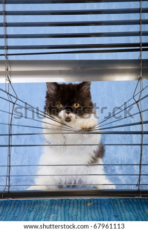 Naughty black and white kitten looking through venetian window blinds