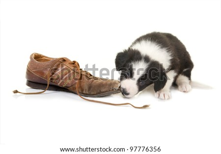 Naughty border collie puppy caught while chewing on a shoe