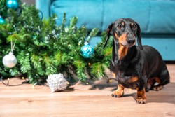 Naughty curious dachshund played too much and filled up artificial Christmas tree decorated with garland and festive balls looks guiltily at the owner.