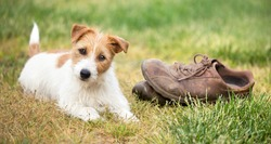 Naughty cute happy jack russell terrier dog puppy looking in the grass with chewed shoes. Pet training concept, web banner.