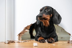 Naughty dachshund puppy was locked in room alone and chewed hole in door to get out. Poorly behaved pets spoil furniture and make mess in apartment
