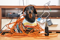 Naughty dachshund was left at home alone and made a mess. Dog in striped t-shirt scattered and tore apart wires and electrical appliances.