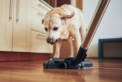 Naughty dog barking on vacuum cleaner during house cleaning.