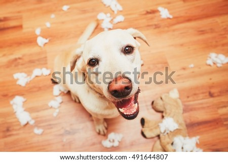 Shutterstock Naughty dog home alone - yellow labrador retriever destroyed the plush toy and made a mess in the apartment