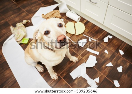 Stock Photo Naughty dog - Lying dog in the middle of mess in the kitchen.
