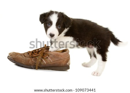 Naughty little border collie puppy caught while chewing on a shoe