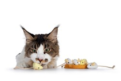 Naughty Maine Coon cat stealing toy mice of edge, referring to the dutch habit: beschuit met muisjes. Isolated on white background with copy space.