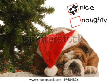 naughty or nice english bulldog wearing santa hat under christmas tree