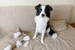 Naughty playful puppy dog border collie after mischief biting pillow lying on couch at home. Guilty dog and destroyed living room. Damage messy home and puppy with funny guilty look