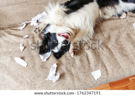 Naughty playful puppy dog border collie after mischief biting toilet paper lying on couch at home. Guilty dog and destroyed living room. Damage messy home and puppy with funny guilty look Stock photo ©
