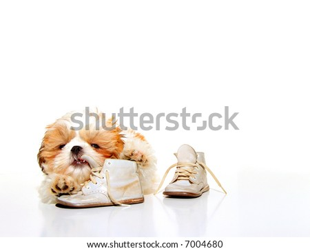 Naughty Puppy - A cute Shih Tzu puppy chewing on the shoelaces of a pair of vintage baby shoes.