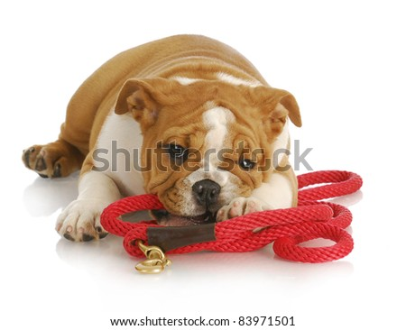 naughty puppy - english bulldog puppy chewing on red leash - 8 weeks old