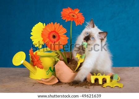 Naughty Ragdoll kitten with broken potplant and flowers