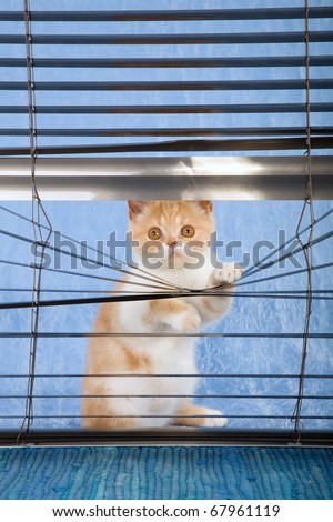 Naughty red and white kitten looking through venetian window blinds - stock photo