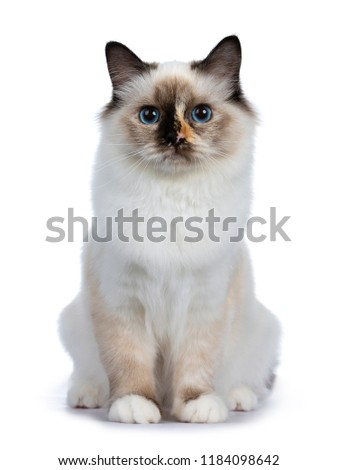 Naughty tortie Sacred Birman cat kitten sitting up, looking at lens isolated on white background