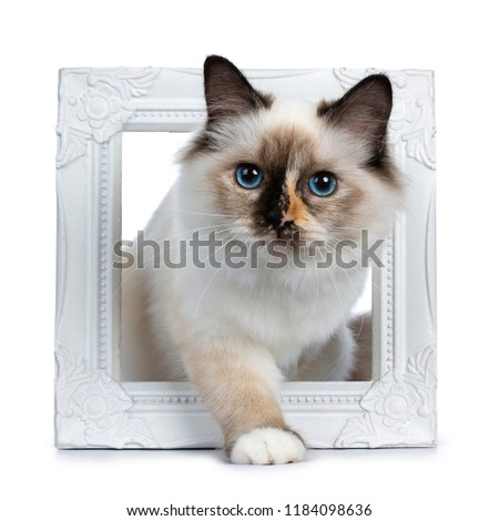 Naughty tortie Sacred Birman cat kitten standing / walking through white photo frame, looking at lens isolated on white background