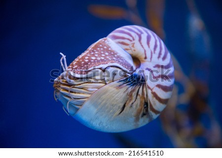 Nautilus pompilius or chambered nautilus, is a cephalopods with a prominent head and tentacle