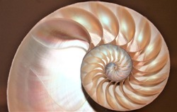 nautilus shell cross section Fibonacci symmetry spiral structure growth golden ratio background mollusk copy space pompilius half split slice stock, photo, photograph, image, picture