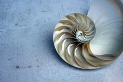 Nautilus shell pearl with copy space concrete stone background cross section symmetry Fibonacci golden ratio shell spiral sequence