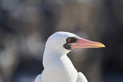 Nazca booby, Sula granti, is a large white seabird, with black face mask, living on Galapagos Islands in the pacific ocean, formerly known as masked booby. Ecuador, South America
