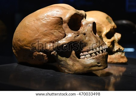 Neanderthal vs human skull        Stock photo ©