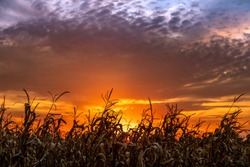 Near autumn harvest, stalks in a cornfield are silhouetted by a colorful Indiana sunset sky.